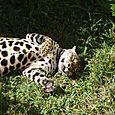 Onaa_jaguar