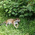 Jaguar_amazonico