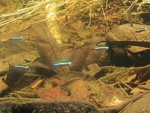 11 Neon cardenal Río Araca