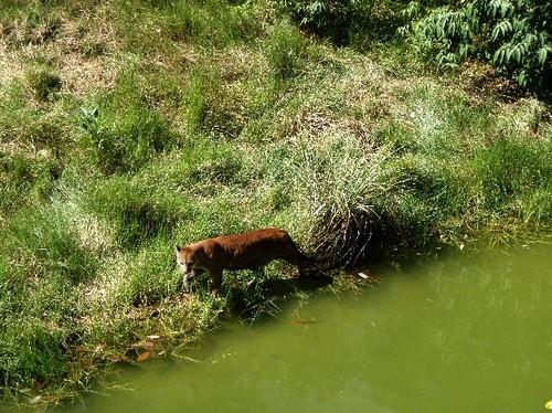 Jaguar_rojo