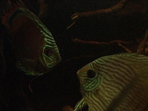 Heckel_y_purus_en_el_acuario_del_barco
